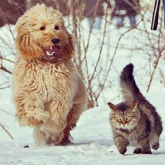 Tibbe The Swedish Cockerpoo Poppe The Siberian Cat