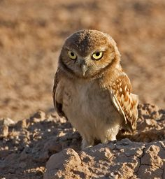 The Burrowing owl is active in the daylight, usually at dusk and dawn. It nests underground in abandoned burrows of mammals in open, dry grasslands, desert habitats that have burrowing animals and agricultural lands. This species of owl is slowly declining from the prairies, and is listed as endangered and threatened.