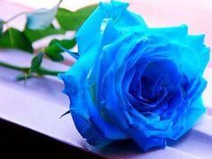 10 Sementes De Rosas Azuis Mto Raras, Exóticas E Lindas - R$ 9,90