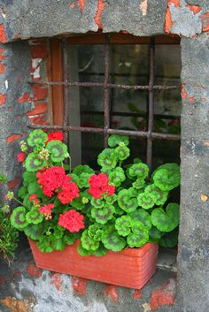 Potted geraniums brighten up a window in Pienza, Italy.