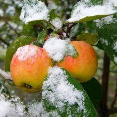Apples covered in Snow, kashmir Queen Elizabeth Rose, Rose Queen, Sour Plum, Fruit List, Apricot Kernels, Rose Of Sharon, Green Fruit, Climbing Roses, Clematis