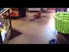 """Task: Long Down  In this video: Service dog in training Zorn, three month old red fox lab donated by Iron Hill Retrievers, practicing his """"down"""" while increasing the duration he remains in a down and the distance away his handler can go, all before he is released with an """"okay""""."""
