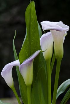 Beauty Never Sleeps | Flickr - Photo Sharing!... I couldn't resist these amazing calla lilies. I've never seen them this color before.