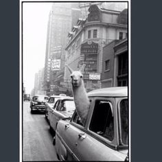 Ilama in Times Square cab by Inge Morath