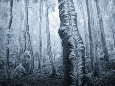 """Wind-Swept Frost Blankets Tree Trunks in a Czech Forest. One of the rarest of moments captured with such perfect form. Surely this is one of the most memorable woodland images I have ever seen! Beautiful Forest, Beautiful World, Mystical Forest, Les Religions, Tree Trunks, No Photoshop, Photoshop Photos, Tree Forest, Snow Forest"