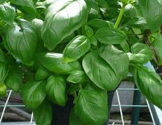 Aromatic Basil easy to grow from seed Growing Seeds, Fresh Herbs, Basil, Spinach, Vegetables, Vegetable Recipes, Veggies