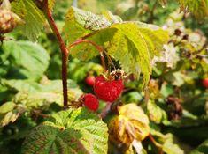 bleuetiere point du jour - Recherche Google Le Point, Recherche Google, Strawberry, Fruit, Food, D Day, The Fruit, Meals, Strawberries