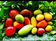 Mangoes of Haiti