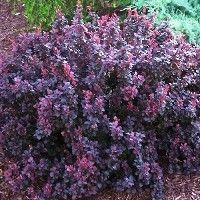 Deer resistant shrubs: Crimson Pygmy Barberry. Resistance to disease, deer and insects, no pruning required. Full sun. Height: 2 ft. Spread: 2-3 ft.