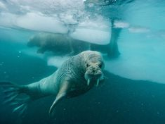 Arctic walrus. Photo by Paul Nicklen.