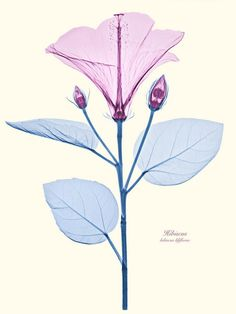 Stunning Floral X-Rays Photography by Brendan Fitzpatrick.  Hibiscus