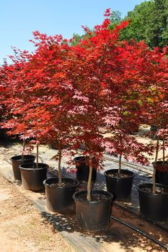 Japanese Maple in a Pot Small Trees, Most Beautiful Gardens, Japanese Maple, Outdoor Gardens, Shade Trees, Japanese Maple Tree, Lawn And Garden, Japanese Garden, Plants