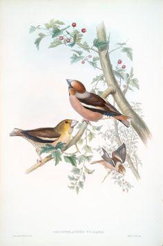 Coccothraustes vulgaris. Hawfinch.