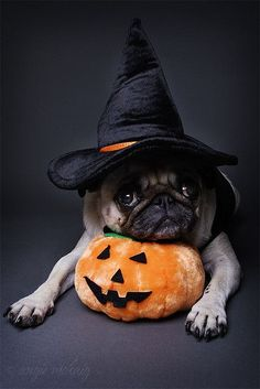 Pug witch is sad Halloween is over.