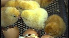 The Little Chick Company - It All Starts With An Egg - For Kids
