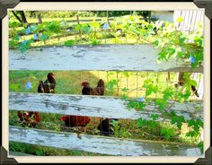 "Open Gates Farm B&B chickens!  ""Bless their little hearts...they provide us endless fresh eggs!"""