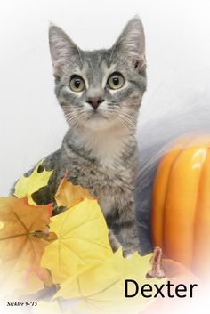 Dexter, Cat • Domestic Short Hair - gray and white & Tabby - Grey Mix • Young • Male • Medium Emporia KS