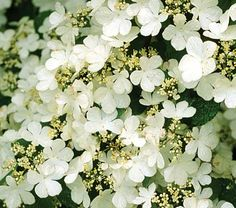 """Viburnum Summer Snowflake - White Flower Farm.   This long-blooming shrub is a gem! Pale yellow buds changing to masses of small white flowers """"splashed"""" as if by a careless painter across a dark green canvas. From late May to October. What a performance!"""