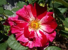 Climbing Rose 'Fourth of July'
