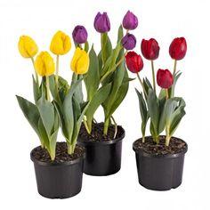 тюльпаны в горшке как высаживать