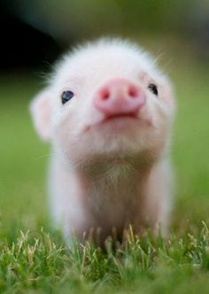 We present for your pinning pleasure the cutest fluffy piggy you ever did see.