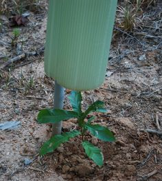 Tree tube being installed over a sawtooth oak seedling