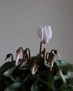 Keeping me company in my office today is this cute little cyclamen plant. And once it's finished flowering I plan to find a place for it in our garden. Did you know that as well as buying cyclamen plants at flower markets that you can sometimes buy cut cyclamen? White cut cyclamen massed on its own as a bridal bouquet looks incredible... | #underthefloralspell #cyclamen