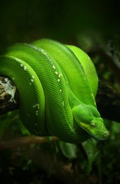 Snakes aren't my favorite animals, but since this one is green, I pinned it.