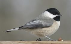 The chickadees are a group of North American birds in the family included in the genus Poecile. Description from christmas123.tk. I searched for this on bing.com/images