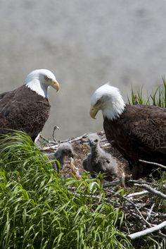 """libutron: """"American Bald eagles in nest with young Bald eagles, Haliaeetus leucocephalus (Accipitridae), have a monogamous mating system. These birds are believed to mate for life, or until a pair. The Eagles, Bald Eagles, Pretty Birds, Beautiful Birds, Animals Beautiful, Simply Beautiful, Animals And Pets, Baby Animals, Cute Animals"""