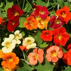 Tom Thumb Mix is a non-trailing, bush-type nasturtium with brilliant jewel-like colors. The single flowers of this nasturtium bloom above the foliage. Companion Gardening, Growing Tomatoes In Containers, Seed Packaging, Types Of Soil, Soil Type, Flower Lights, Blooming Plants, Bright Flowers, Edible Flowers
