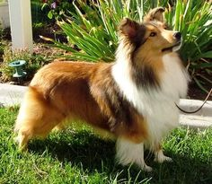 The Shetland Sheepdog originated in the and its ancestors were from Scotland, which worked as herding dogs. These early dogs were fairly Sheepdog Tattoo, Blue Merle Sheltie, Mini Collie, Collie Dog, Dog Dna Test, Shetland Sheepdog Puppies, Dog Mixes, Herding Dogs, Kittens And Puppies