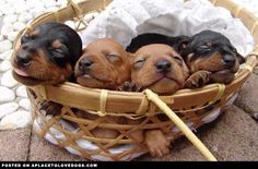 Sleeping dachshund puppies-Awww..