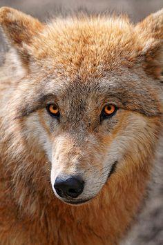 Lobo - Animal -> Por: Angel Catalán Rocher <- Sígueme!