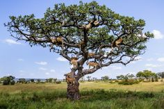 Lions climb a tree in Serengeti to avoid insects. Photo: Bobby-Jo Clow/Caters News