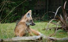 Going to the Dogs: 8 Endangered Canids   Around the world, canids (various mammals of the family Canidae, which includes the foxes, wolves, dogs, jackals, and coyotes) are going extinct due to pressures on their habit and way of life, while conservation organizations struggle to save them before it's too late.