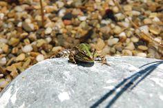 C'est la belle vie pour les grenouilles dans le bassin de régénération de la piscine naturelle à Brin de Cocagne - Chambre d'hôtes écologique de charme dans le Tarn près d'Albi - Brin de Cocagne