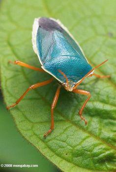 Turquoise shield bug with orange legs