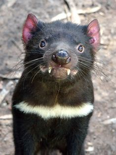 Tasmanian devil (Sarcophilus Harrisii) In a word - vicious Interesting Animals, Unusual Animals, Rare Animals, Animals Beautiful, Animals And Pets, Funny Animals, Nocturnal Animals, Tasmanian Devil, Tier Fotos