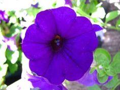 Petunias púrpuras