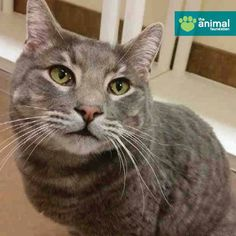 Brent (A814969) is looking for the purrfect long-term relationship. He's friendly, affectionate, and a great listener. Plus, we think he's pretty handsome! His adoption fee (and the adoption fee for all cats weighing 10lbs or more) is reduced to just $25 through January 11. Meet Brent today at our PetSmart Charities Everyday Adoption Center!