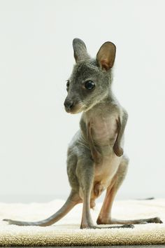 Pip the Bennett's Wallaby Joey Gets a Cozy New Home