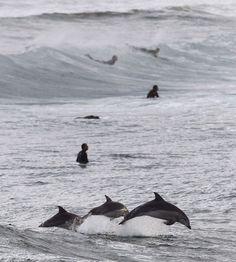 Sydney, surf tra i delfini: lo show sulle onde è della natura