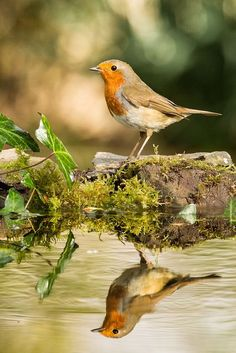 A tan and orange bird is perfectly reflected in a forest pond. A time to reflect by Philip Male