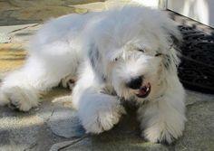 Boo the Tibetan Terrier