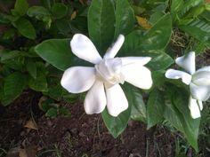 flor del jazmín del cabo