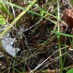 Araña del Parque La Esperanza De Cataño Puerto Rico