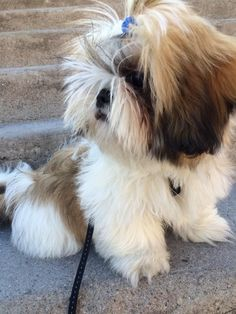 Baby Shih Tzu, Shih Tzu Dog, Shih Tzus, Puppies And Kitties, Cute Puppies, Adorable Dogs, Animal Books, All Dogs, Maltese