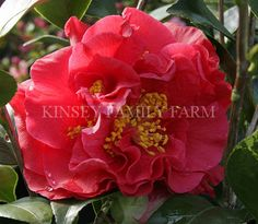 'Reg Ragland Supreme' Camellia japonica. Cherry red double flowers. Spring. Kinsey Family Farm Gainesville, GA.