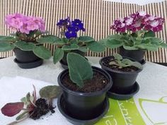 Growing African Violets at Home, a few tips for you! about replanting these beautiful and delicate flowers that delight our homes. Violet Plant, Garden Kits, Plants, African Violets Plants, Succulents Garden, Propagating Plants, Herb Garden Kit, Indoor Plants, Propagate Succulents From Leaves